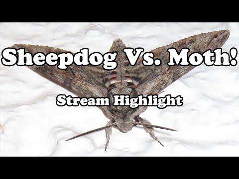 Sheepdog 1v1s a Moth (Stream Highlight)