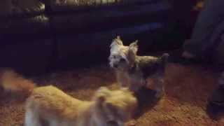 Cairn Terrier Jazz Dancing The Ballet With A Yorkie Named Thumper.