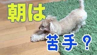 久々の動画です! きなこは元気ですよ〜♪ ☆ペット(トイプードル)紹介 ...