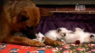 Ragdoll Kittens | Too Cute!