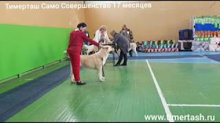 30 марта 2019 Выставка собак в Кургане ТИМЕРТАШ САМО СОВЕРШЕНСТВО