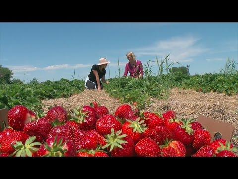 WCCO Viewers' Choice For Best Berry Picking In Minnesota