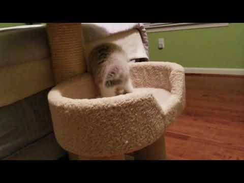 Kaerik RagaMuffin Kittens - The Late Night Crazies - www.kaerikrags.com