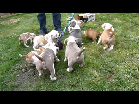 Old English Bulldog Pups Outside Playing
