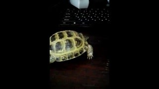 Сухопутные черепахи видео(это сухопутная черепаха., 2015-07-05T06:57:53.000Z)