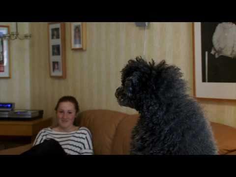 Hunden Som Sjunger Bättre än De Flesta I Melodifestivalen