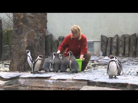 Krmení tučňáků Humboldtových