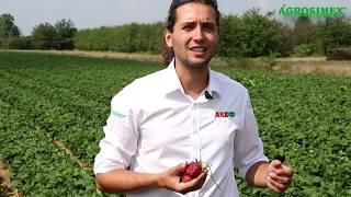 Nawadnianie plantacji truskawki