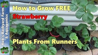 How to Grow Strawberries from Runners.  Free plants = more fruit.