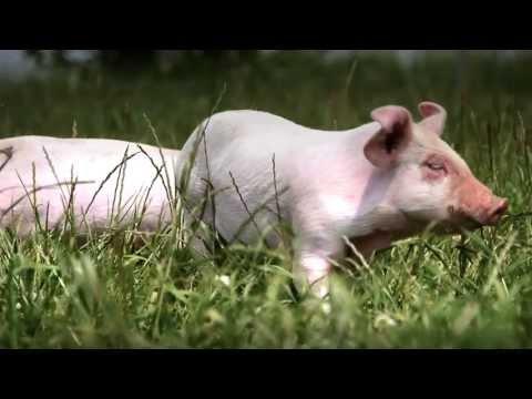 hvad hedder en griseunge