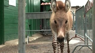 Ippo the zonkey wins fans in Italy