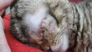 MVI 1352 Котёнок Веня едет домой после удаления глаза
