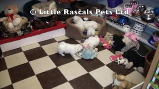 Little Rascals Uk Breeders New Litter Of Maltichons