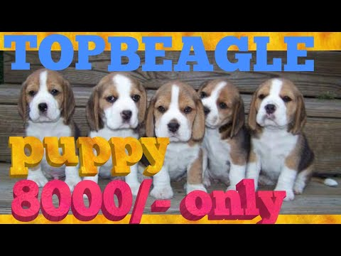 Beagle puppy sale