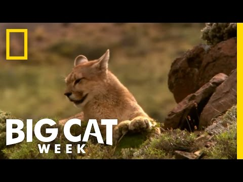 Becoming a Hunter | Puma! Elusive Hunter of the Andes