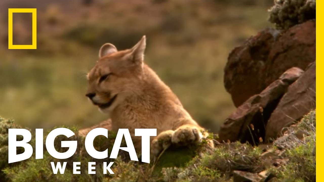 eed0b44c14c Becoming a Hunter | Puma! Elusive Hunter of the Andes - YouTube