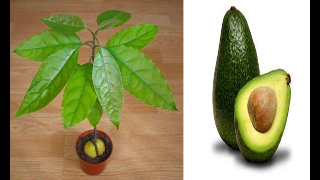 как вырастить авокадо из косточки в домашних условиях ...