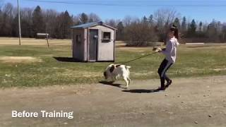 Stopping two high energy springer spaniels from pulling on leash  before and after training