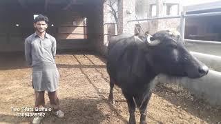 Cattle Farming Pakistan Fayaz Ahmad Chak Sochan Pakpattan