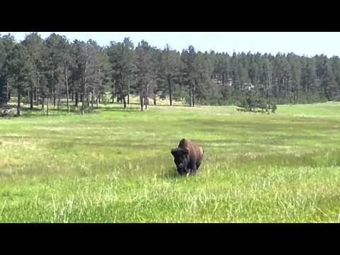 Buffalo gone wild - S.D. Road Trip 2014