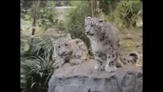 В зоопарке Манхеттена показали детенышей снежного б...