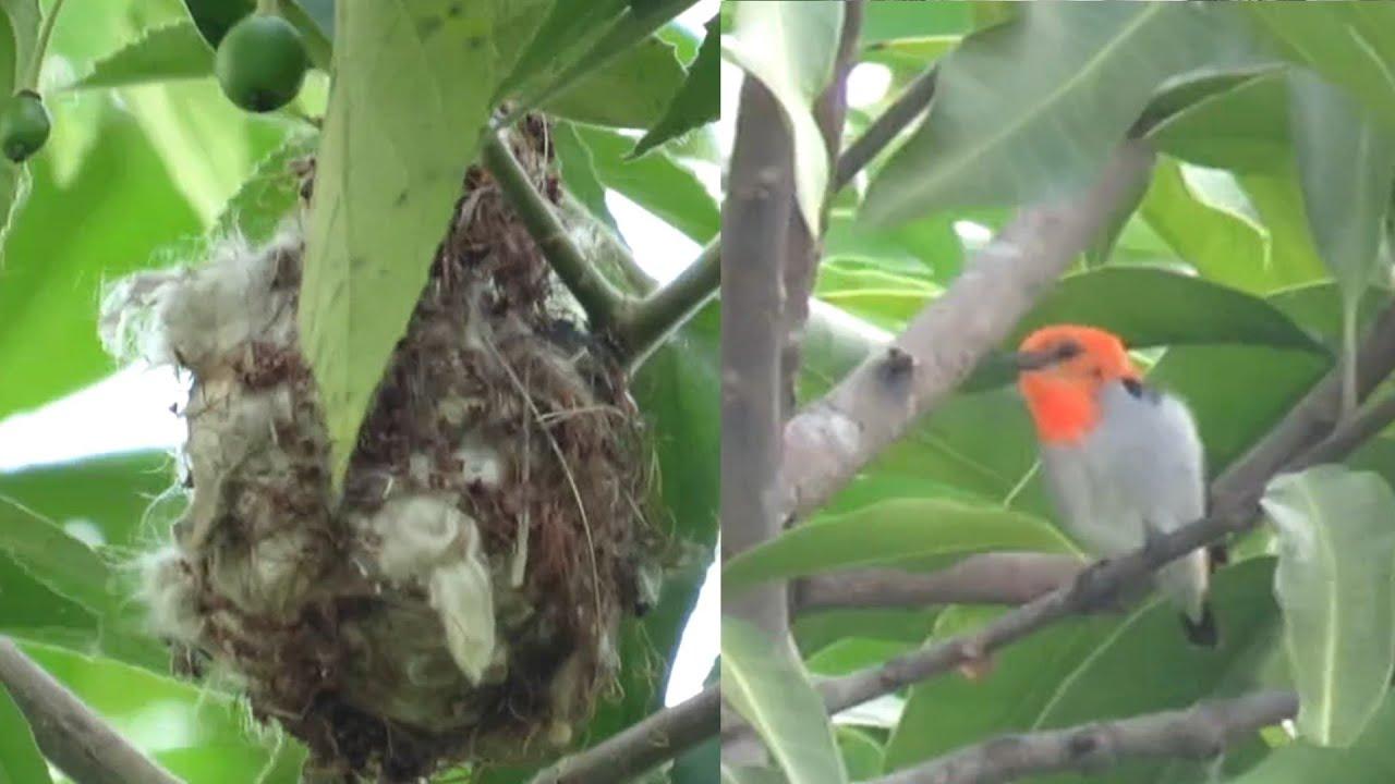 Melihat Sarang Burung Kemade Cit Keres Baret Merah Sarang Kutilang Youtube