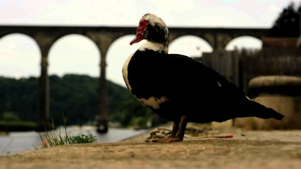 Duck At Calstock