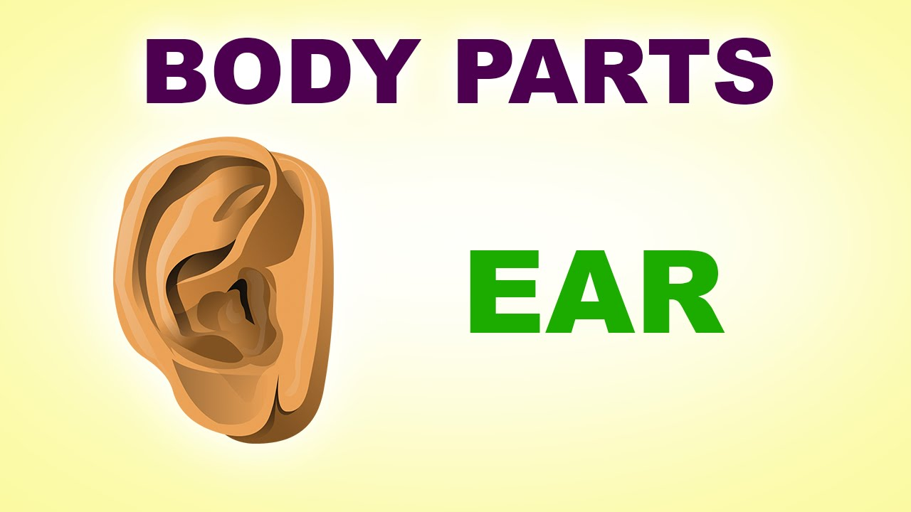 ears human body parts pre school know your body animated