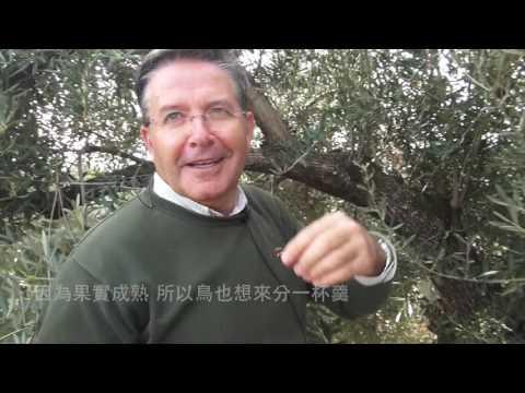 認識橄欖 關於好的採收時機