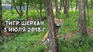 ТИГР ШЕРХАН 3 ИЮЛЯ 2018 Г.