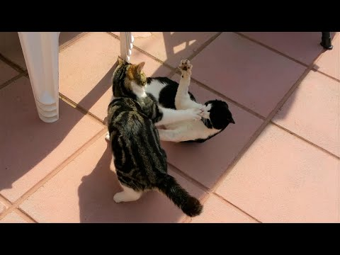 Funny Fight Video - Kitten Fighting With A Cat - 4K Ultra High Definition 2160p Footage