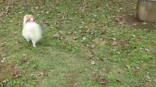 ドッグランの苦手なポン太。犬見知り克服目指します。