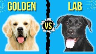 Golden Retriever vs Labrador Retriever ( Best Family Dogs Comparison )