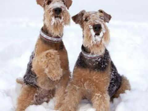 Tribute to all Airedales