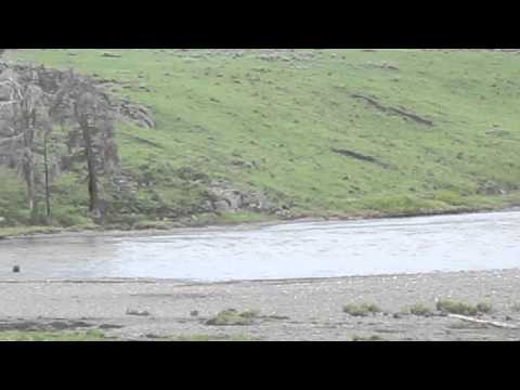 A Grizzly Bear swimming across a river at Lamar Valley, Yellowstone