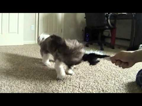 shih-tzu-shaking-toy-in-slow-motion-(20x-slow-mo)