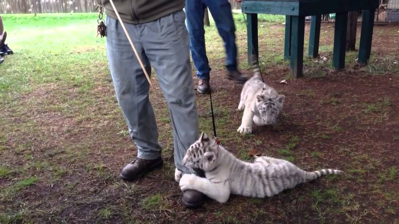 Great Cats World Park White Tiger Cubs 11 9 Youtube