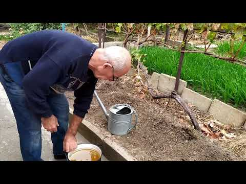 Уничтожение почвенных вредителей на винограднике без применения ядохимикатов