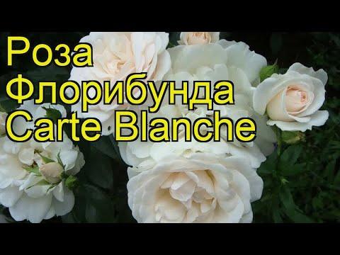 Роза флорибунда Карт Бланш. Краткий обзор, описание характеристик, где купить саженцы Carte Blanche