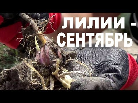 Как рассадить лилии осенью видео