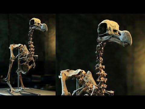 Collector Sells Rare Dodo Bird Skeleton