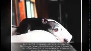 Маленькие породы собак ИТАЛЬЯНСКАЯ ЛЕВРЕТКА