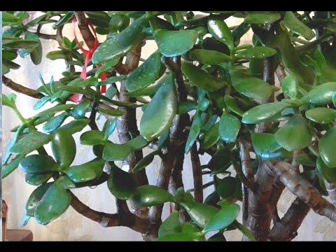 Денежное дерево  Ошибки при содержании крассулы  в зимний период