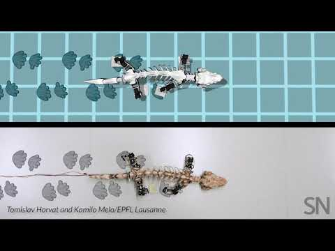 Watch researchers re-create how an early tetrapod moved   Science News