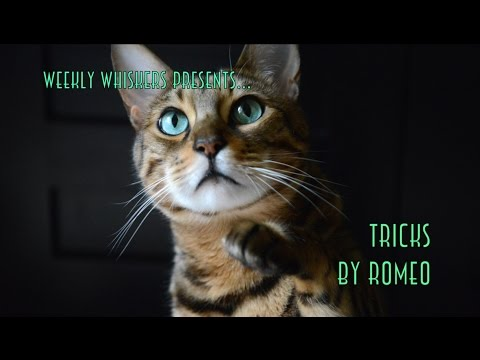 Adorable Tricks by Bengal Cat, Romeo