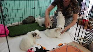 Coton Puppies For Sale - Kara 11/4/20