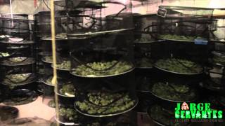 Drying Big Buds - Marijuana Growing Tips By Jorge Cervantes