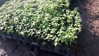 รีวิว ต้นกล้ามะละกอฮอลแลนด์ กำลังลงปลูก