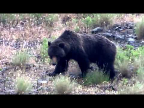 Grizzly Bears in Yellowstone National Park -June 2017