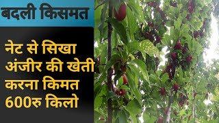 नेट  पर सीखी अंजीर की खेती,एक फल की कीमत है 600 रुपये   जिले के एक किसान ने फेसबुक पर थाईल